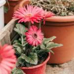 Como cuidar la Gerbera – La guia más completa - 4