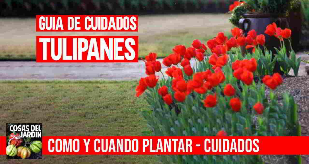 Cuando plantar tulipanes