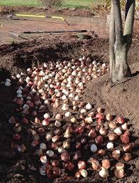 Como y cuando plantar tulipanes - 2