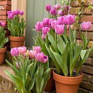 Como y cuando plantar tulipanes - 4