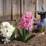 Como plantar el jacinto paso a paso