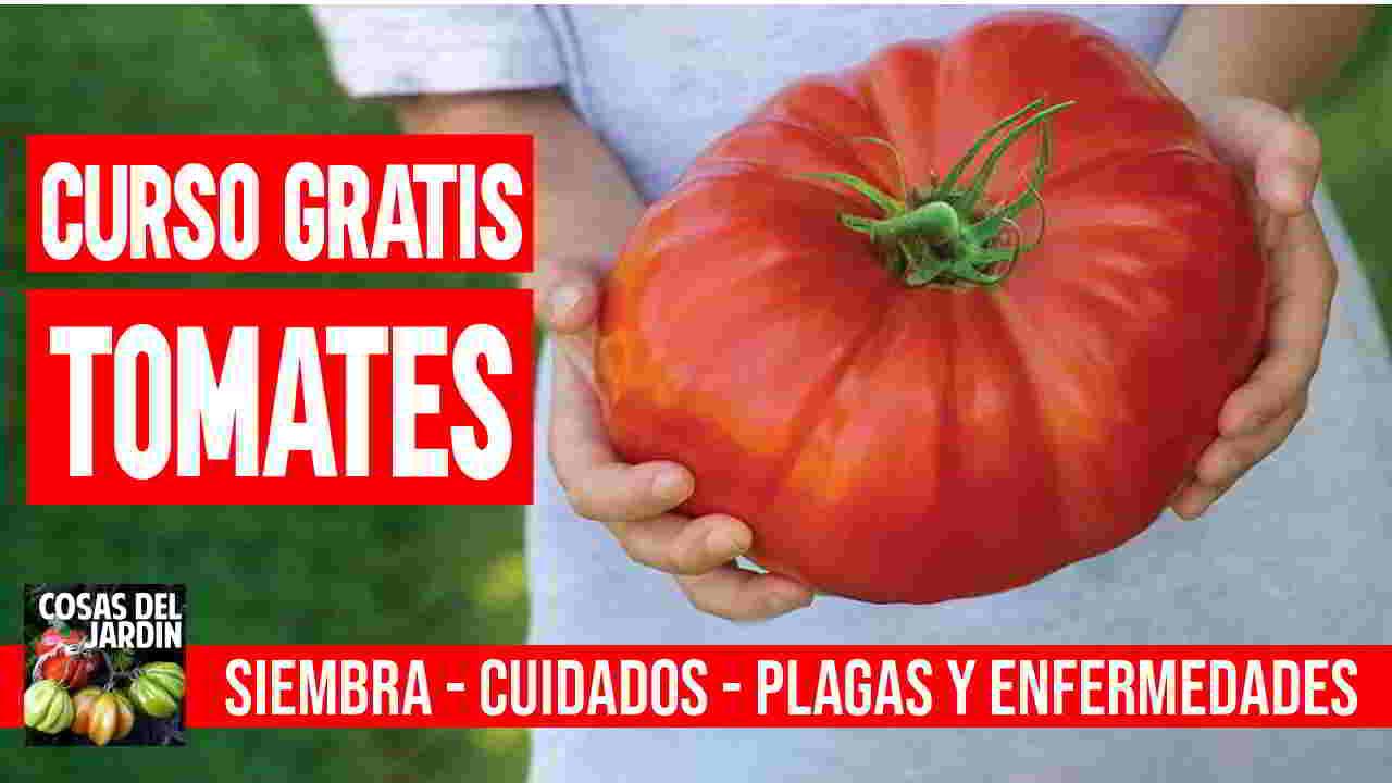 Si sos una persona que recien se inicia en el cultivo de tomates o tus primeros intentos no te fue bien, te recomiendo que mires atentamente curso sobre como plantar tomates.