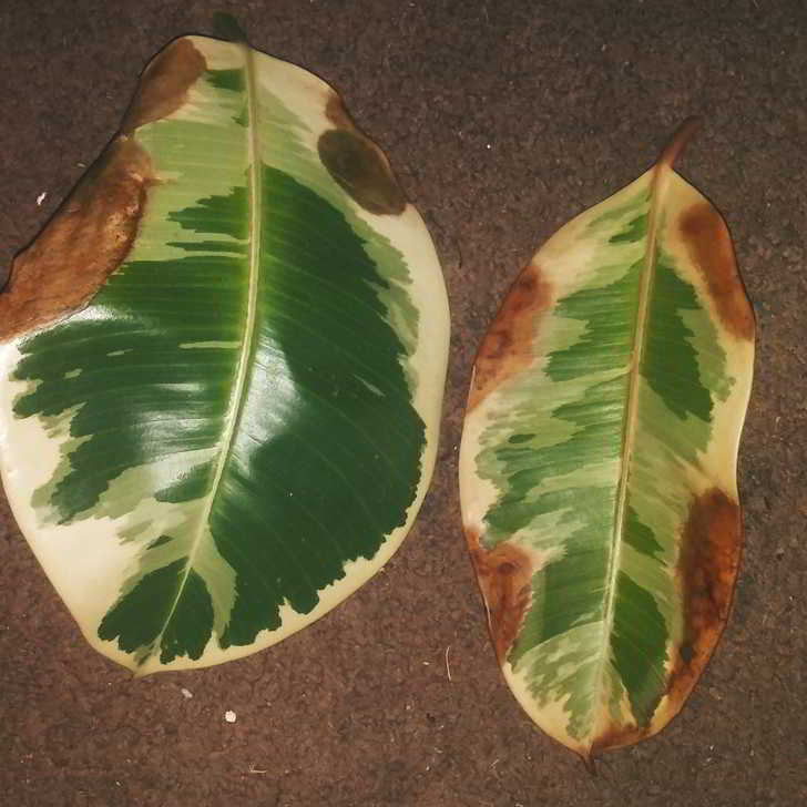 Antracnosis en Ficus
