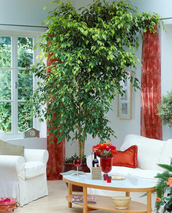 Cuidados del Ficus Benjamina en Interiores