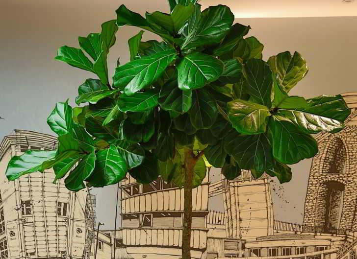 Cuidados del Ficus Lyrata