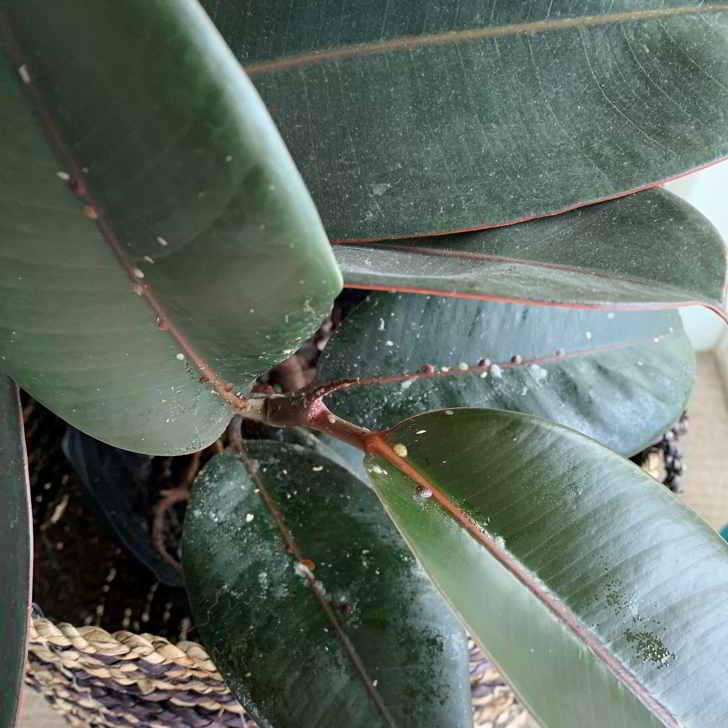 Escamas en Ficus