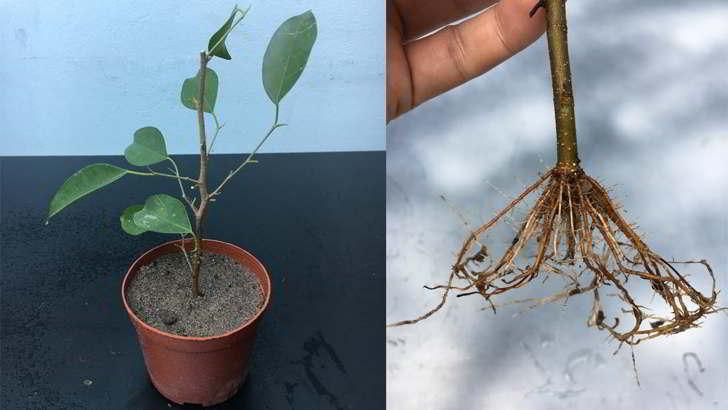 Reproducir Ficus Benjamina por esqueje