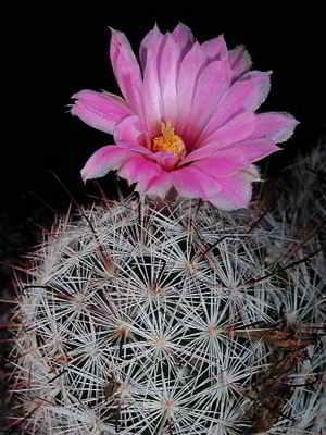 1 - Mammillaria tetrancistra