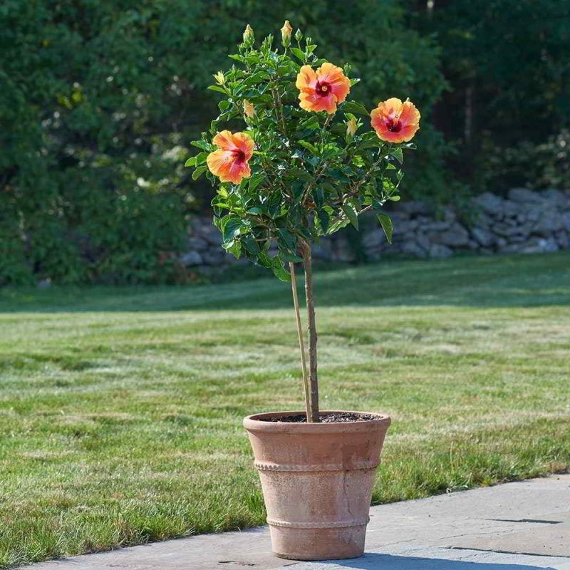 como cuidar el hibiscus en maceta