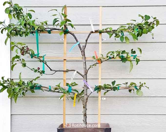 10 mejores Arboles Frutales en Maceta que puedes cultivar - 11