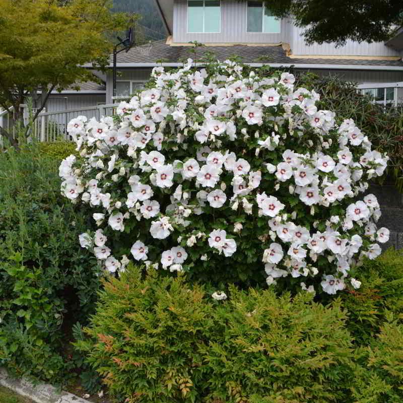 Hibiscus en el centro del jardin