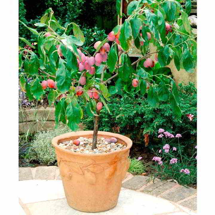 10 mejores Arboles Frutales en Maceta que puedes cultivar - 19