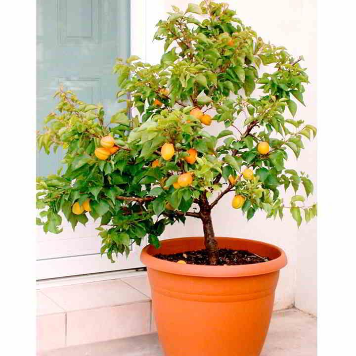 10 mejores Arboles Frutales en Maceta que puedes cultivar - 12