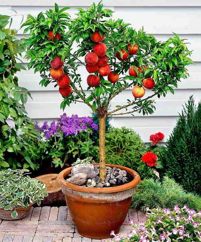 10 mejores Arboles Frutales en Maceta que puedes cultivar - 17