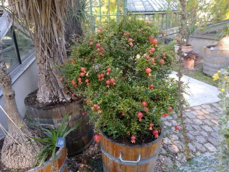 10 mejores Arboles Frutales en Maceta que puedes cultivar - 20