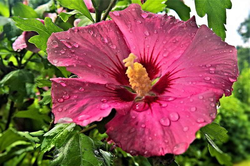 hibiscus fucsia
