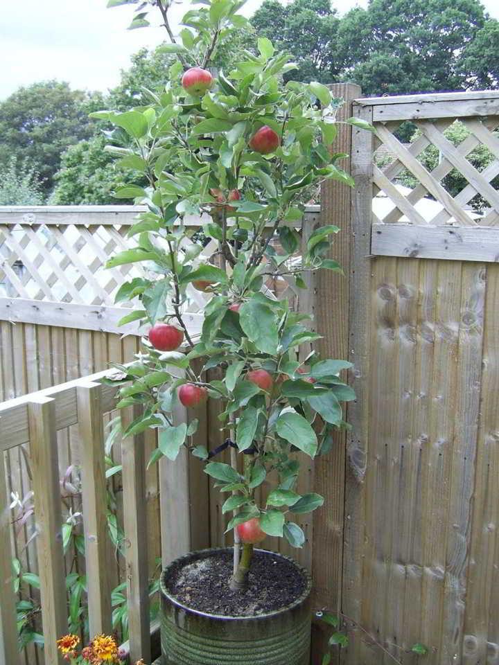 arboles frutales en maceta