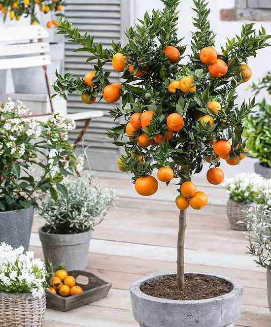 10 mejores Arboles Frutales en Maceta que puedes cultivar - 16