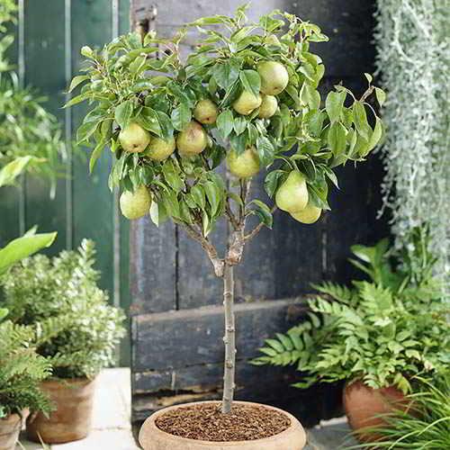 10 mejores Arboles Frutales en Maceta que puedes cultivar - 18