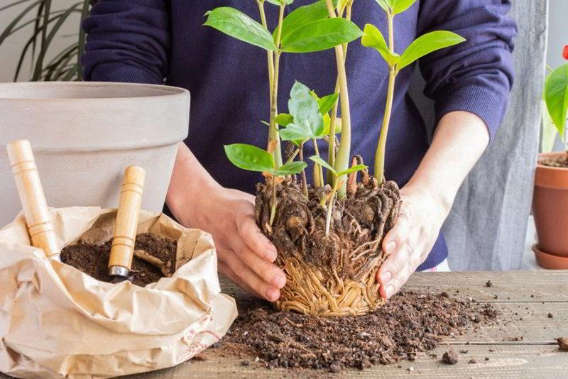 Como hacer trasplante de plantas correctamente - 12