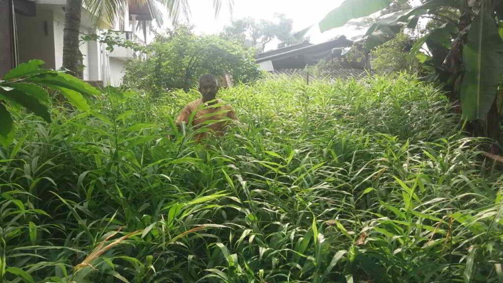 Plantación de Jengibre en la india